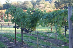 Lent Vineyard